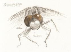 dessin détail tête libellule