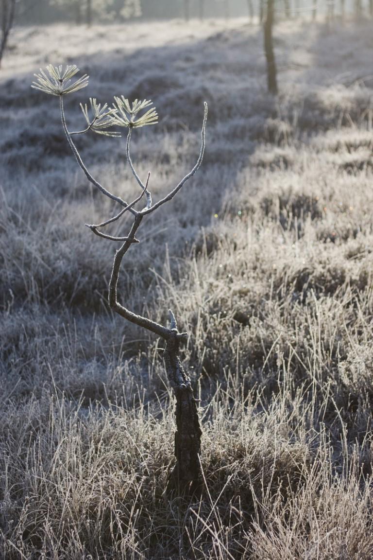 """Pin """"bonsaï"""" dans la lande"""