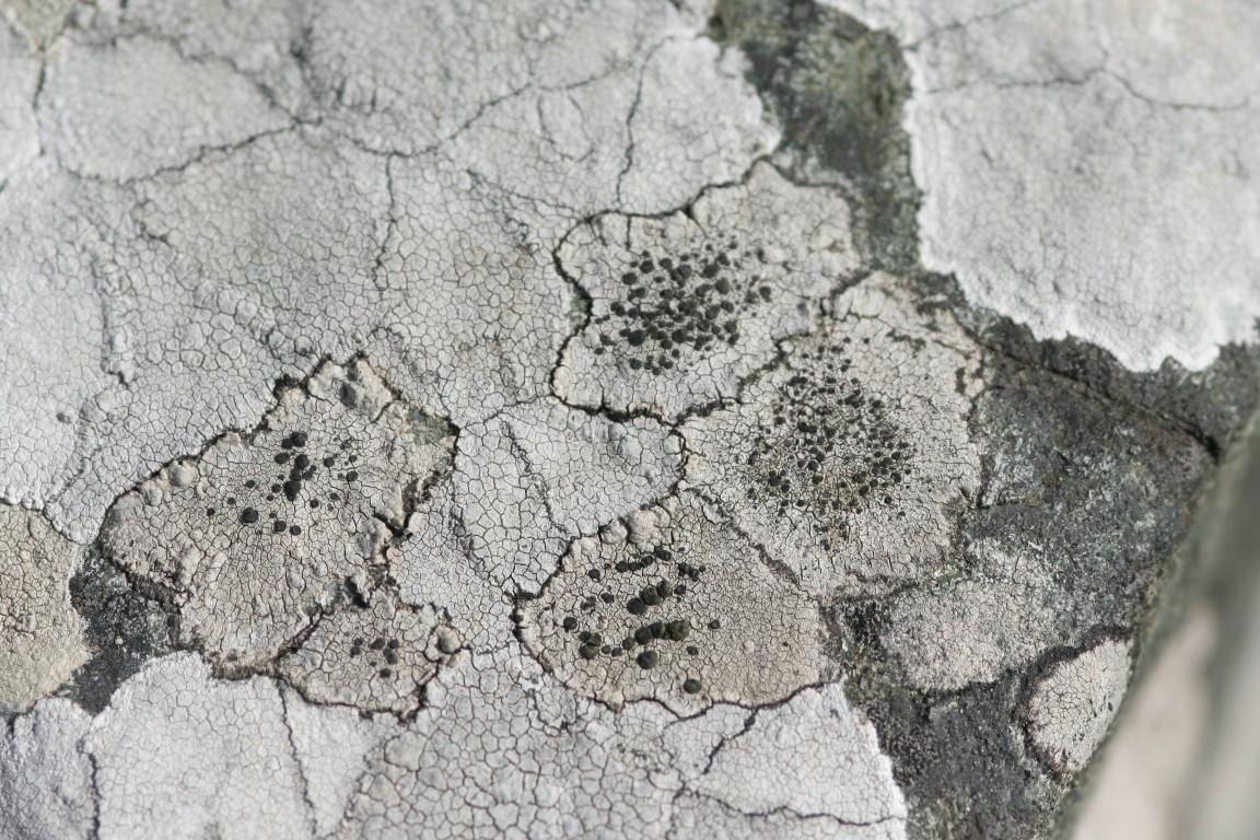 Buellia subdisciformis