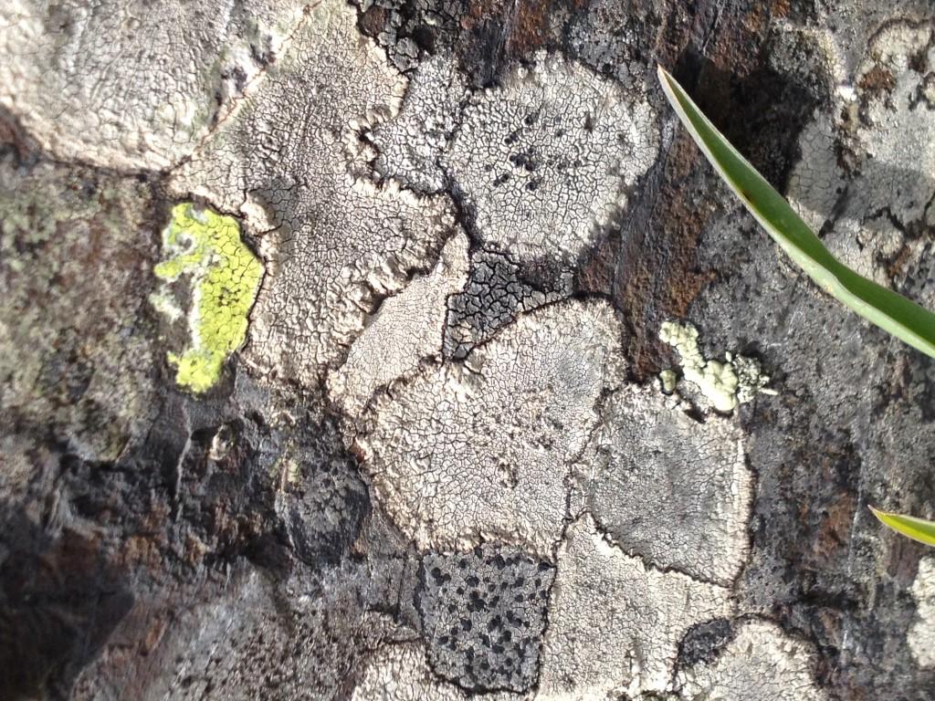 Mosaïque de Lichens