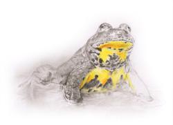 Sonneur à ventre jaune - aquarelle