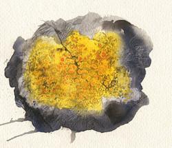 aquarelle lichen caloplaca marina