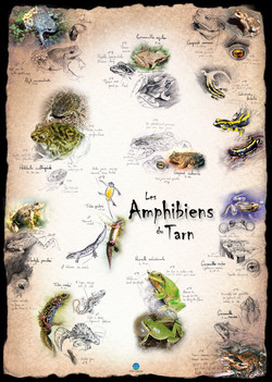 Amphibiens Tarn