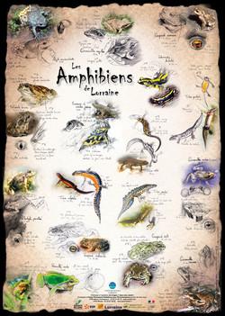 Amphibiens Lorraine