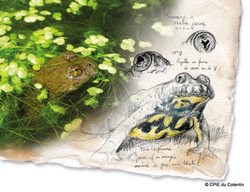 Description Sonneur à ventre jaune