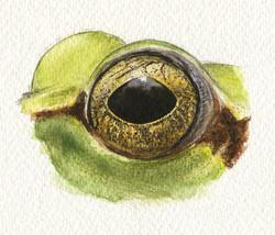 Oeil de Rainette verte - aquarelle