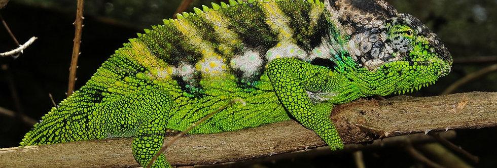 Verrucosus Chameleons (Giant)