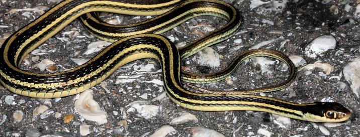 Northern garter snake