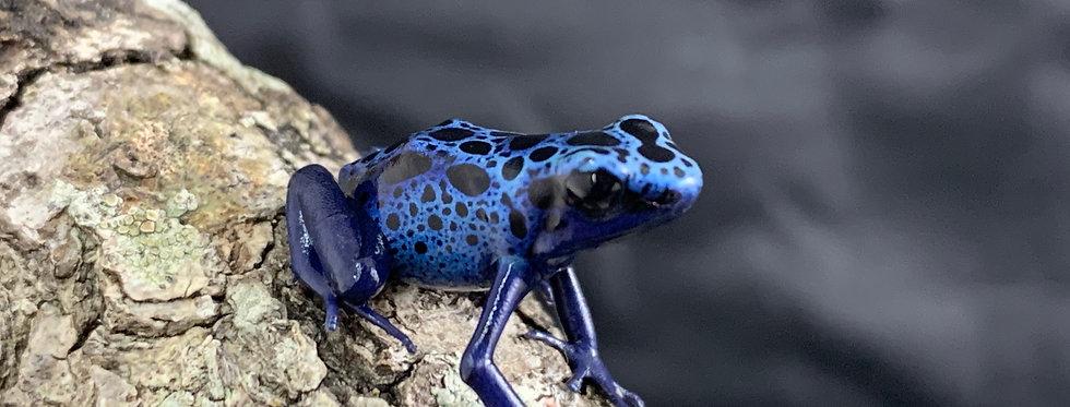 D. tinctorius azureus cb