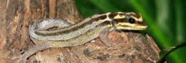 Yellow head dwarf gecko