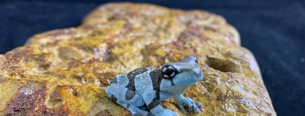 Brazilian milk frog