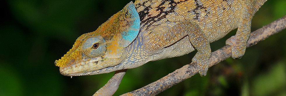 Malthe chameleon