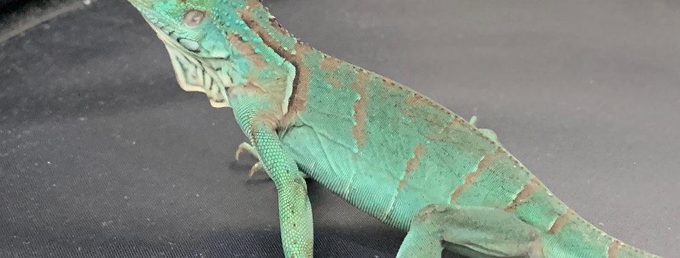 El Salv. Blue Iguana