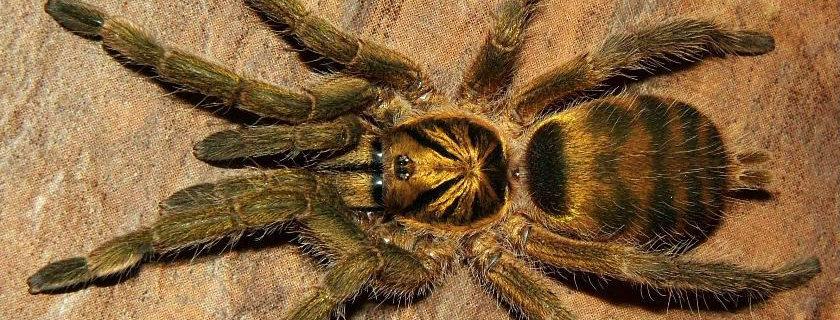 """Trinidad olive tarantula .75"""""""