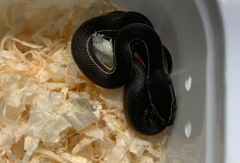 White striped house snake