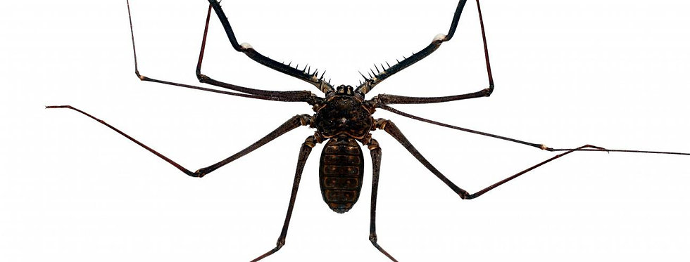 Giant tailless whip scorpion