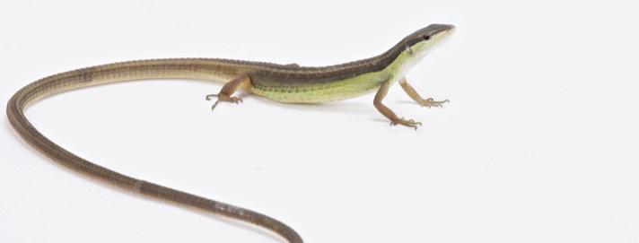 Long tail grass lizard