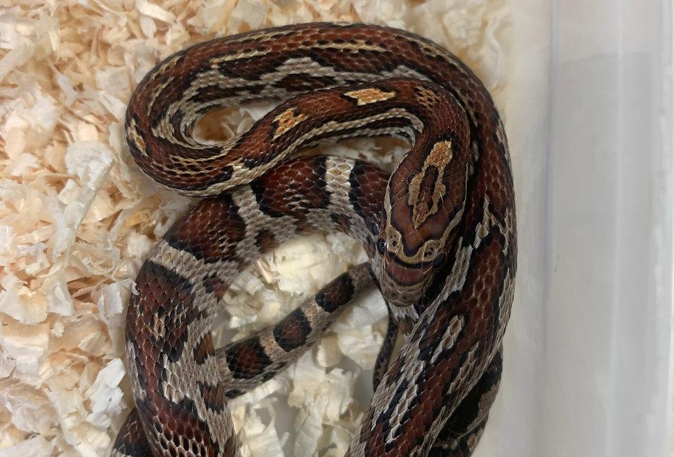 Aztec Corn Snake 2019