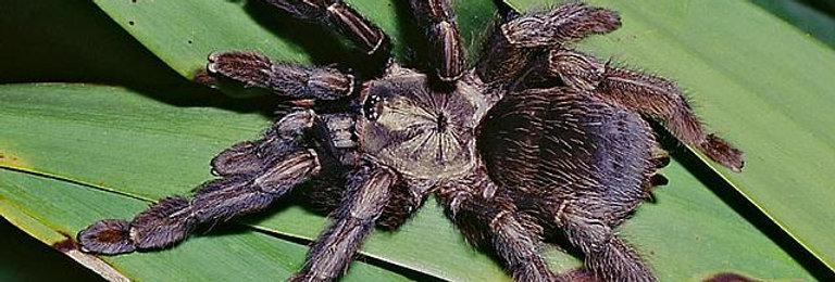 Costa Rican chevron tarantula