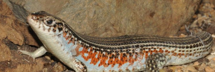 Ornate girdled lizard