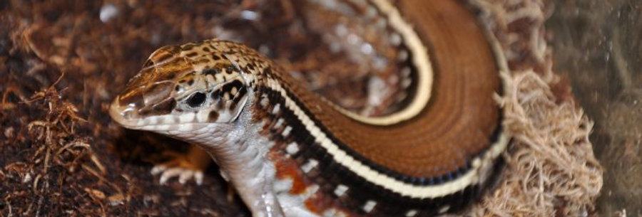 Karsten's Girdled Lizard