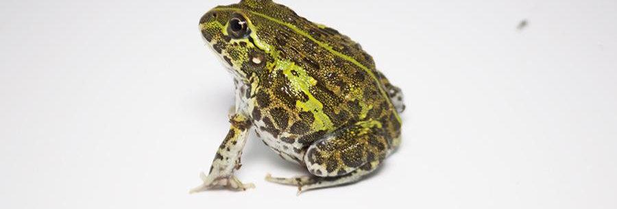 Giant Pixie Frog CBB