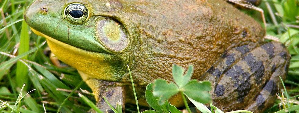 """American Bullfrog frog 5"""""""