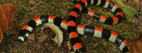 C.A. black-banded snake