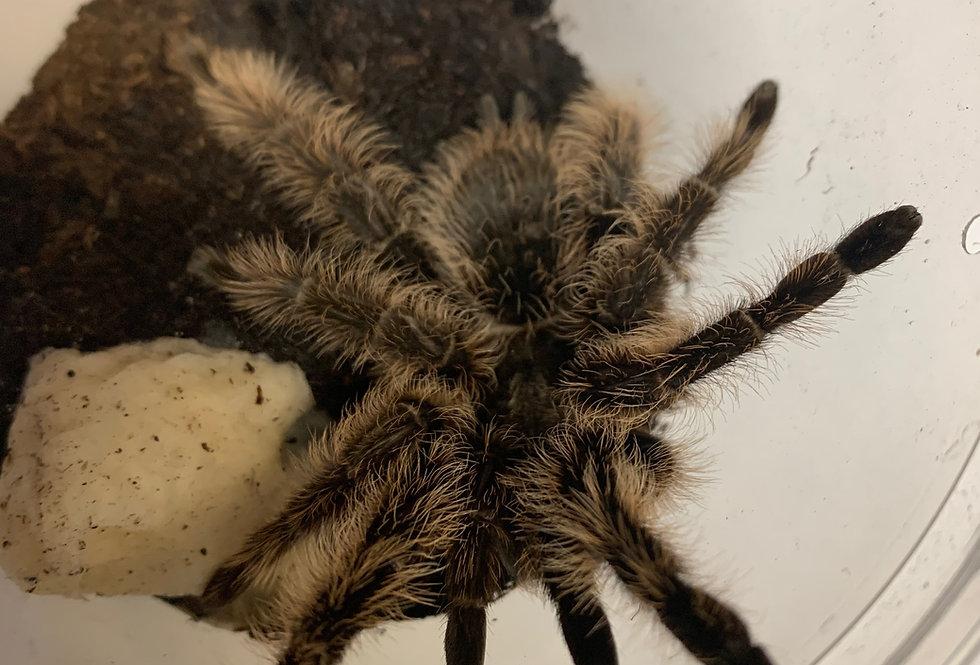 Curly hair tarantula (adult)