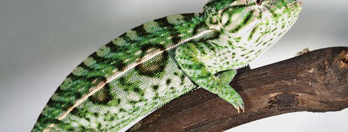 Carpet Chameleons