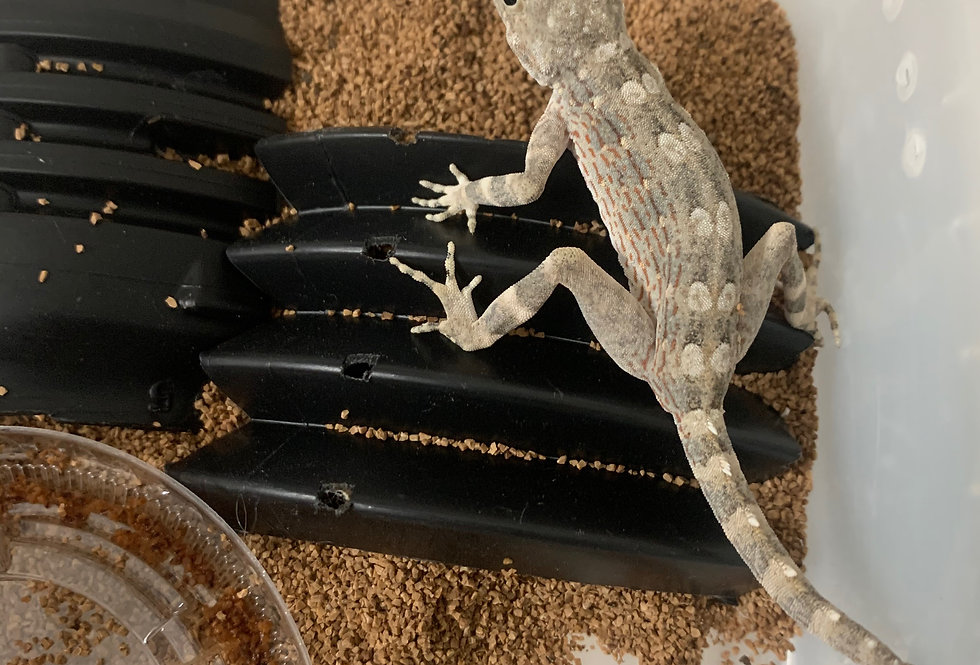 Carter's rock gecko ( adult male only )