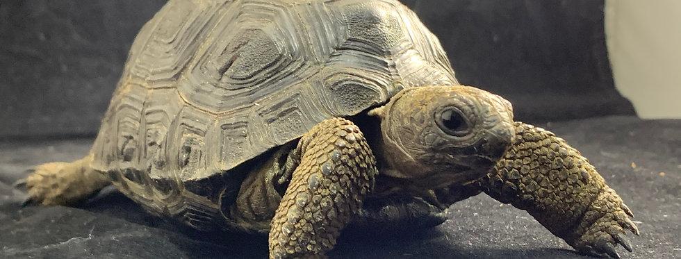 """Aldabra (4""""-5"""")"""