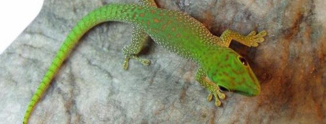 Koch's giant day gecko