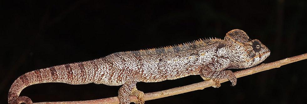 Giant Oustalets's chameleon