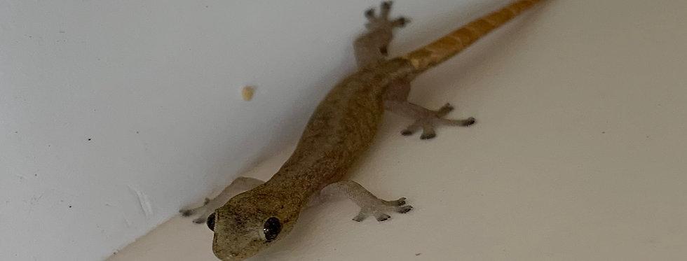 Indopacific tree gecko