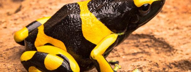 Bumble Bee Dart Frog Adult