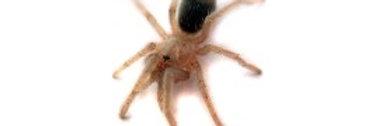 Striped Knee Tarantula (Spiderling)