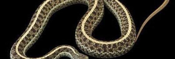 Eastern garter snake CB baby