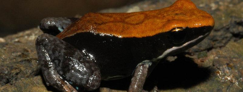 Brown Mantella frog