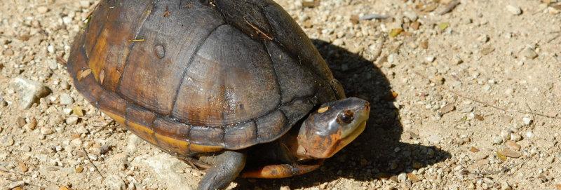 Scorpion mud turtle