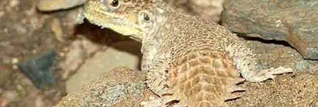 Shield tailed agama (male only)