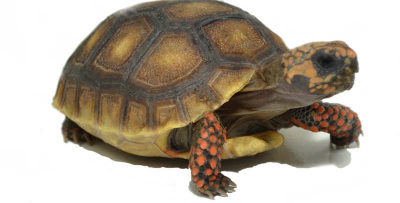 """Red-footed tortoise (6-7"""")"""
