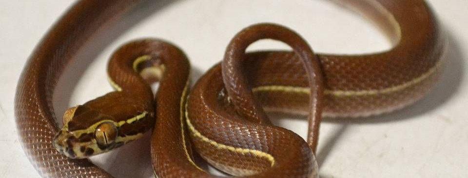 Africa house snake