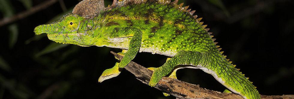 Antimena chameleon