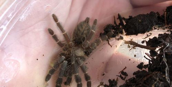 Golden Bolivian Curtain-Web Spider