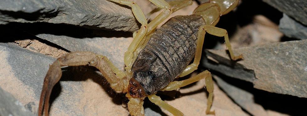 Hottentotta scorpion