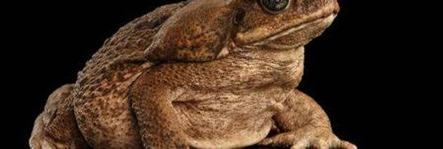 Giant marine toad (Guyana) 6'' 7''+
