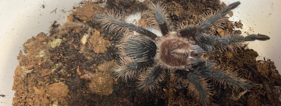 Curly hair tarantula CB