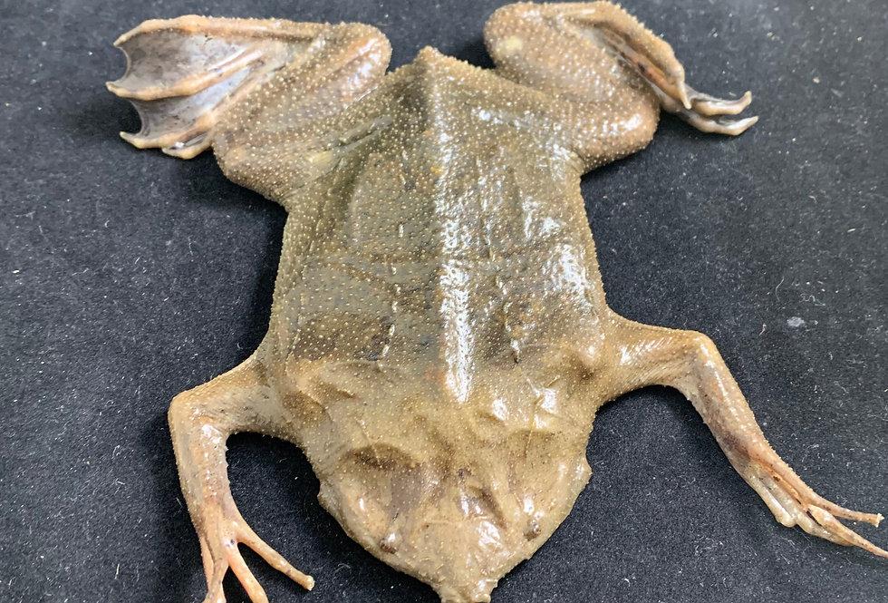 Pipa pipa toad