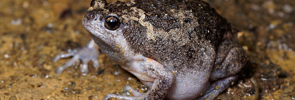 Narrow Mouthed Toad